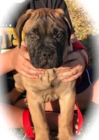Bullmastiff Puppies For Sale in Florida - Bullmastiff