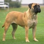 A Firm and Loving Owner Makes a Bullmastiff and Loyal Pet